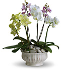 Regal Orchids from In Full Bloom in Farmingdale, NY