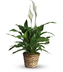 Simply Elegant Spathiphyllum - Small from In Full Bloom in Farmingdale, NY