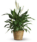 Simply Elegant Spathiphyllum - Medium from In Full Bloom in Farmingdale, NY