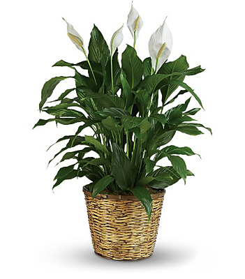 Simply Elegant Spathiphyllum - Large from In Full Bloom in Farmingdale, NY