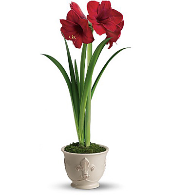 Merry Amaryllis from In Full Bloom in Farmingdale, NY
