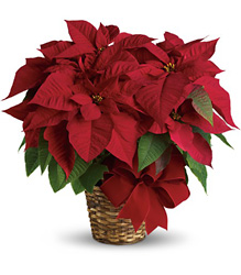 Red Poinsettia from In Full Bloom in Farmingdale, NY