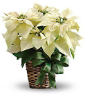White Poinsettia from In Full Bloom in Farmingdale, NY