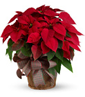 Large Red Poinsettia from In Full Bloom in Farmingdale, NY
