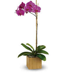 Imperial Phalaenopsis Orchid from In Full Bloom in Farmingdale, NY
